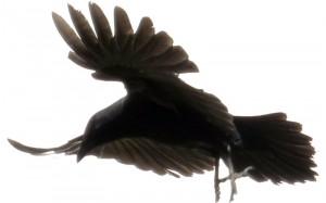 Des corbeaux en grand nombre par ici