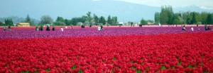 La Conner où tout le monde vient se ballader dans les champs de fleurs